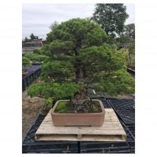Pinus pentaphylla kokkonoe [ID35]