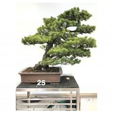 Pinus pentaphylla [ID25]